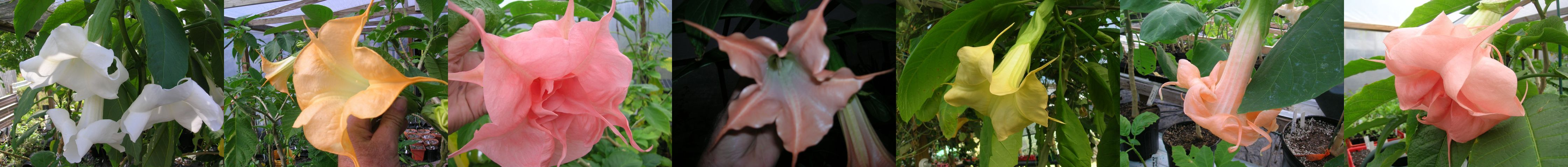 country garden brugmansia picture