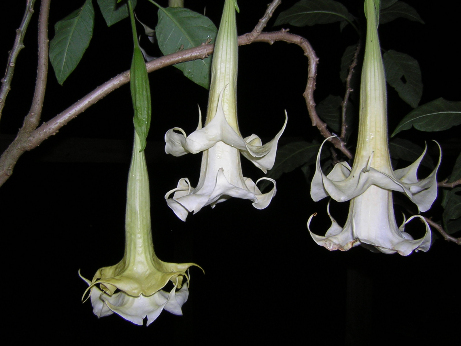 Brugmansia Double Delight