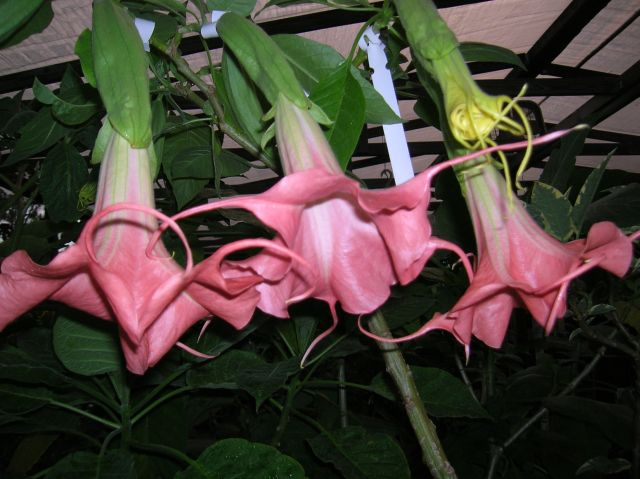 angel trumpet Galaxy