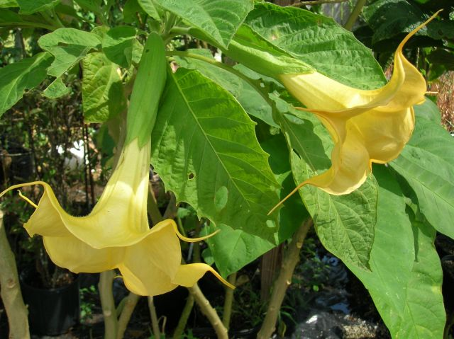 Brugmansia Golden Bells