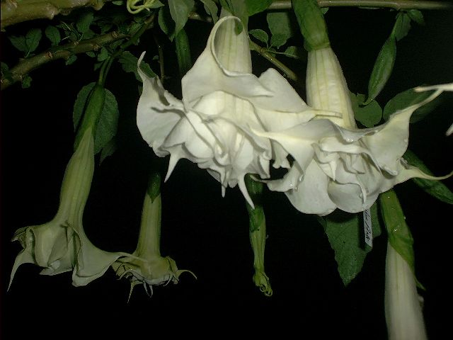 angel trumpet Puppy Love