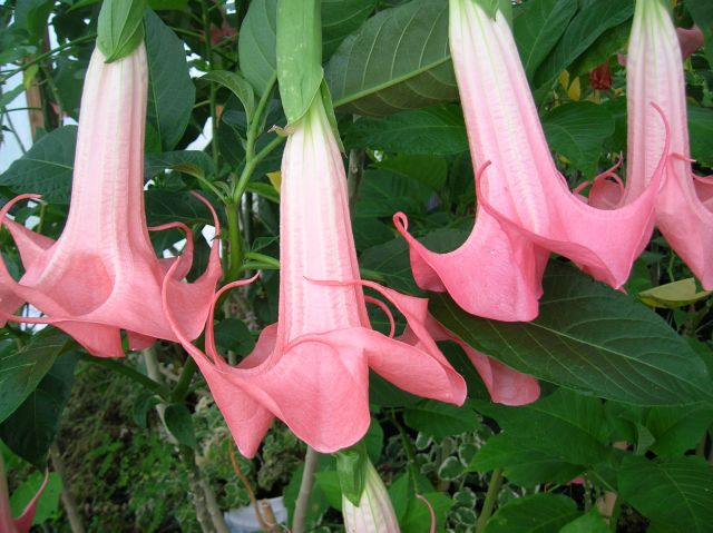 Angel Trumpet Velvet Rose