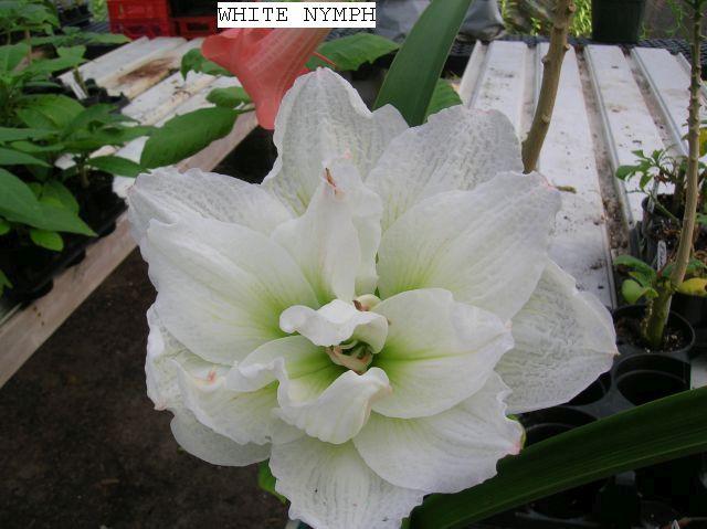 White Nymph